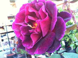 Rose heaven